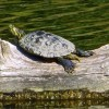 A Painted Turtle sunning himself on a log