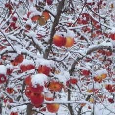 A wintery orchard