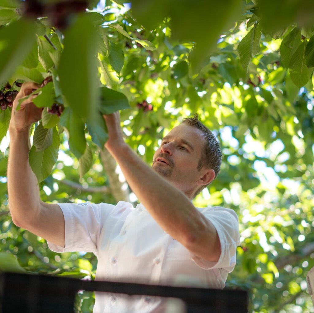 Ned Bell of Naramata Inn picking cherries in Naramata